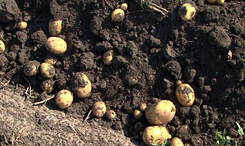 Выращивание картофеля рентабельность 50