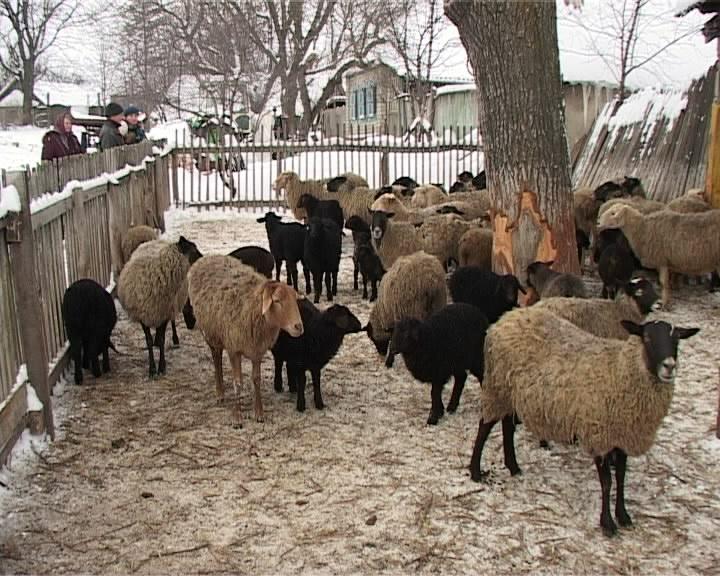 Как развести овцы в домашних условиях 383