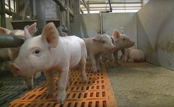 НаБелгородчине выведут свою породу свиней