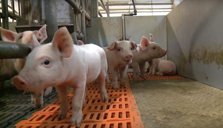 Производство мяса возросло в Белгородской области